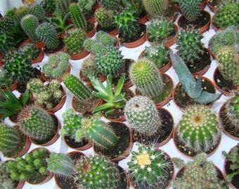 20 x Cactus / Succulent Mix 5.5cm Pot