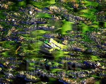 Good camouflaging frog in the water