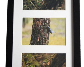 A Trio of Song Birds - Nuthatch