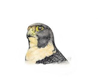 Giclée of Peregrine Falcon