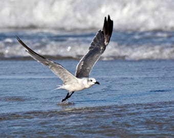 Seagull, ocean decor, bird in flight, art, fine art print, beach decor, home decor, bird photo, wall art
