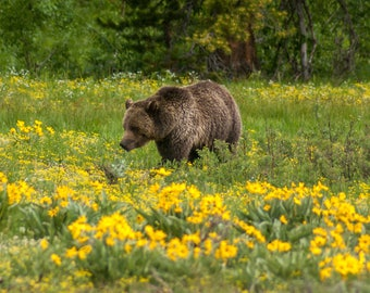 "Grizzly bear ""Blondie"" in Grand Teton National Park"