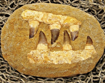 6 Mosasaur Teeth and Jaw-Bone Fossil Dinosaur Period Specimen in Sand Stone Matrix MOS 7