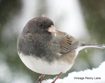Nature Photography Junco Bird, Instant Download