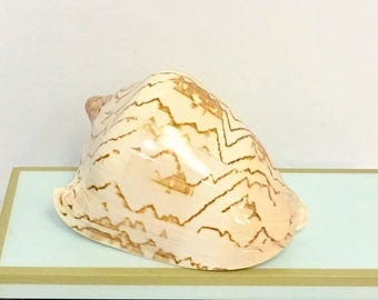 "Seashells - Large Polished Voluta Nobilis Shell 5""-6""  beach decor/coastal decor"