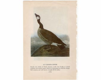 1950 CANADA GOOSE BIRD print - bird lithograph -  original vintage bird lithograph - with whistling swan print on reverse side
