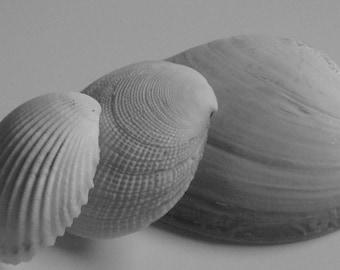 Seashell Black and White Photograph 8x10