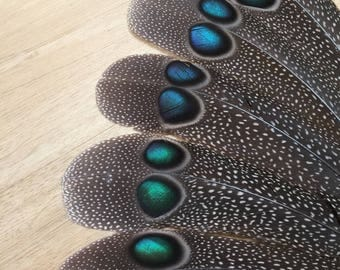 Peacock Pheasant tail feather - rare unique cruelty free naturally molted exotic tropical jungle southeast asia rainforest pheasant