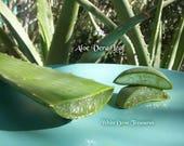 """Aloe Vera Leaf ~ 8""""-16"""" Whole Leaf ~ XL Plant ~ Aloe Vera Live Plant 16"""" 3lb+"""