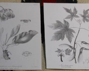 two vintage saddle flower and silver leaved maple stone lithograph ca.1850