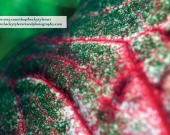 Caladium Leaf Fine Art Photo Print