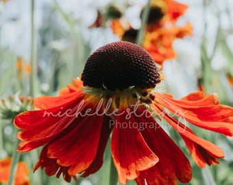 Red Coneflower Photography, Botanical Prints, Red Flowers, Flower Images, Garden, Photography Download, Macro Photography, Wall Art, Botany