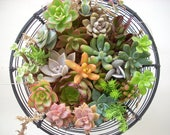 RESERVED FOR ASHLEY 30 Live Succulent Cuttings Collection