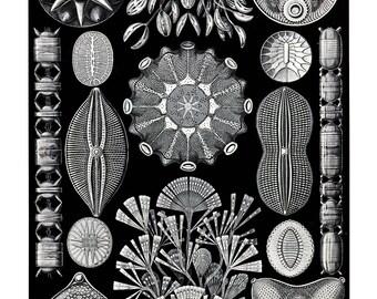 Ernst Haeckel's Vintage Artwork Diatomea