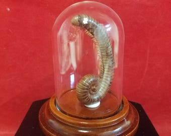 Taxidermy/Preserved Millipede in Glass Dome Dsply-entomology-insect-animal-bug