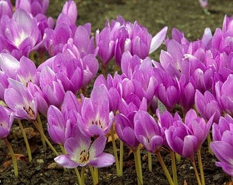 Saffron Crocus seeds,purple pink  saffron crocus seeds,crocus of Kozani seeds,213,gardening,