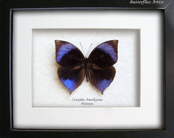 Striking Saturn Zeuxidia Amethystus Real Butterfly In Museum Quality Shadowbox