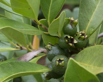 "Lemon Guava (Psidium littorale), Live Plant, Ships in 4"" Coconut Fiber Planter"