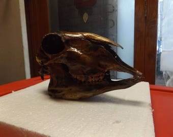 Beautiful Marbled Sheep Skull  Tri colored # 24