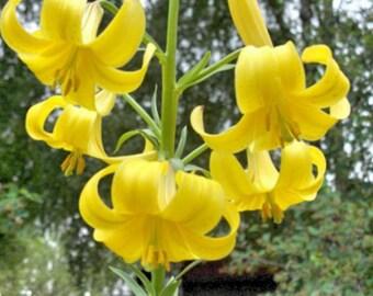 Lilium monadelphum 10 seeds