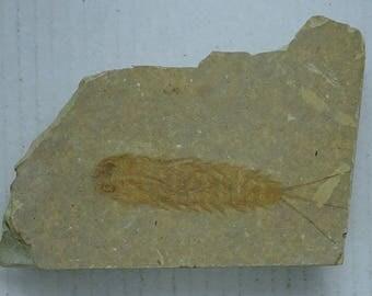 Fossil Mayfly Larvae; Ephemeropsis trisetalis