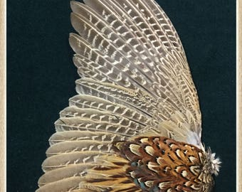 Pheasant wing from a ringneck rooster pheasant, pheasant feathers, wing feathers. # 64