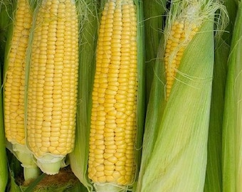 Golden Bantam Corn Seeds, Corn Seeds, Sweet Corn  Seeds, Heirloom Corn Seeds
