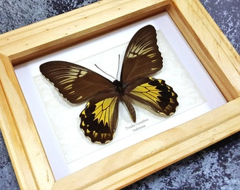 FREE SHIPPING Framed Troides Cuneifera Large Birdwing Butterfly Taxidermy A1 #54