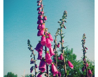 Foxgloves and Blue Skies