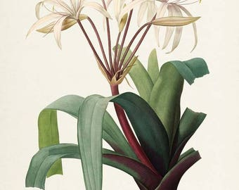 South American Swamp Lily Botanical Print - Flower Art Print - Flower Art - Floral Art - Garden - Redoute Art - Crinum erubescens