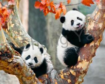 Panda photo art mounted print