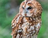 Tawny Owl Blank Greetings...
