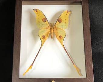Dissected authentic butterflies ARGEMA mitrei male-real-frame-collectibles-specimen-Taxidermy-Collectible