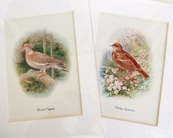 Two Vintage British Bird Prints to Frame - 1910s Bird Illustrations - Wood Pigeon and Hedge Sparrow - Pictures in Card Mounts