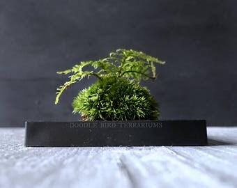Miniature DIY Japanese Moss Ball Kokedama Kit with Fern Moss