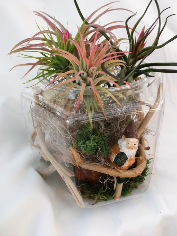 Honeysuckle vine air plant terrarium