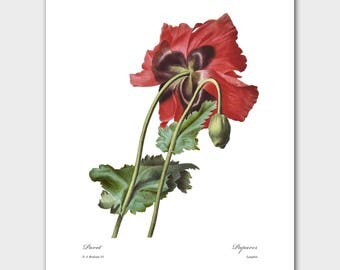 Poppy Flower Print (Red Home Decor, Botanical Wall Art) -- Pierre Redoute