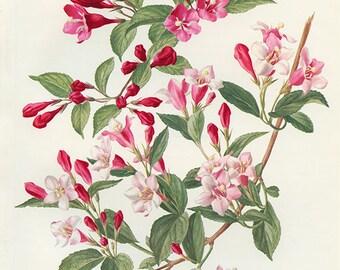 Weigela vintage 1972 Illustration fleurs de weigela roses aquarelle botanique art botanique vintage illustration florale fleurs roses