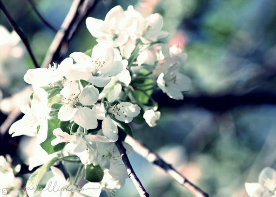 White Apple Blossoms - Flowers Trees Nature Photography Print Colorful Pastels Spring Summer Wall Art Home Decor
