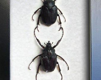 RARE Argyrophegges Kolbei PAIR Real Beetles Museum Quality Framed In Display