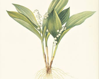 white Lily of the valley Convallaria majalis vintage botanical print Pierre-Joseph Redouté garden flower plant gift for gardener 8.5 x 12 in