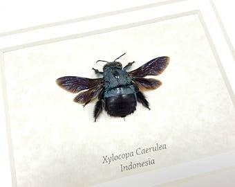 FREE SHIPPING Framed Blue Carpenter Bee Xylocopa Caerulea Taxidermy High Quality A1 #37