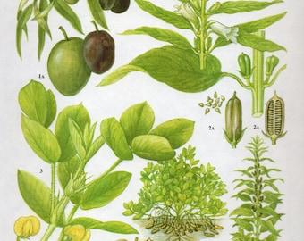 Vintage Botanical Print Antique OLIVE PEANUTS, plant print botanical print, bookplate art print, olives fruit plants plant wall
