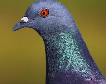 Pigeon- dove rock pigeon photography bird photograph art decor