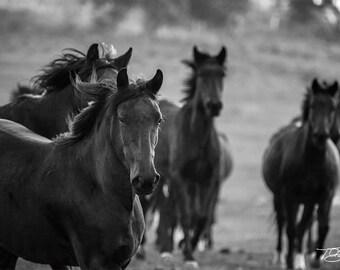 Wild Horses Running - Photograph of Wild Horses Running