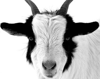 Black and white photo of goat. modern, simple fine art. paper or canvas art. Wall and home art decor. animal photo. minimalist art. home art