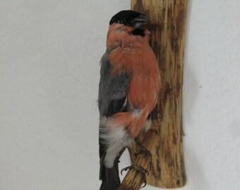 Vintage Bird Taxidermy Bullfinch Finch bird Old preparation shabby