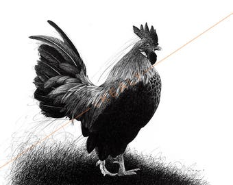 Rooster Drawing Print – Black and White