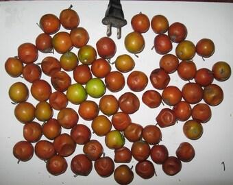 Ziziphus Spinosa (sour-sweet) - 6 seeds