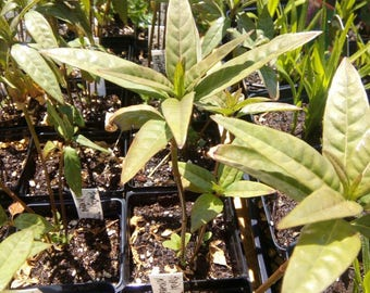"""15 Tropical Milkweed plants. 6-8"""" height."""